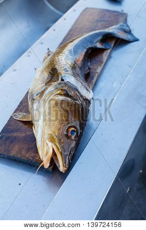 Big fresh trout fish lying on cutting board. Norway.