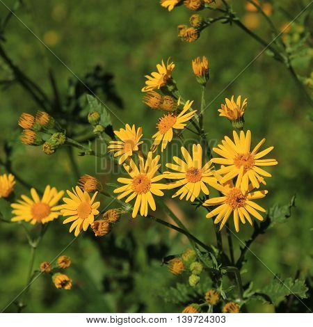 Yellow wildflowers photographed in the Swiss Alps. Alpine ragwort.