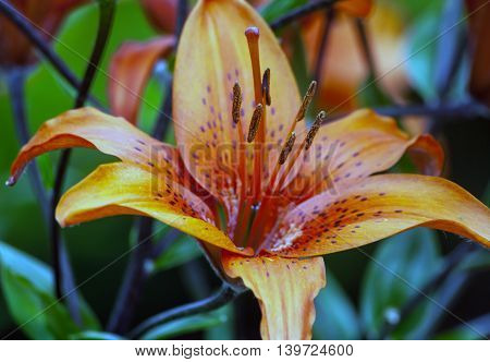 beautiful lily in the garden grow cloudy day, burgundy, yellow, green