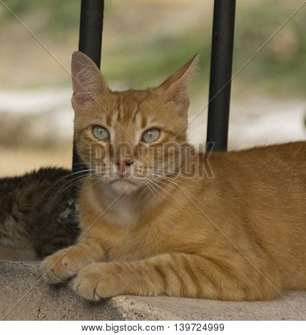 Red cat with beautiful eyes resting in the shade.