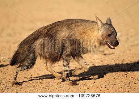 Alert brown hyena (Hyaena brunnea), Kalahari desert, South Africa