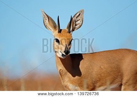Portrait of a male steenbok antelope (Raphicerus campestris), South Africa