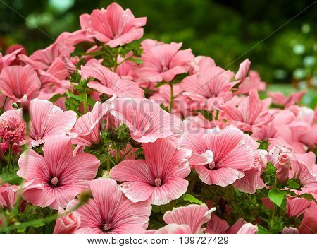 green bushes plant flowers lavatera with delicate pink flowers grow in the park