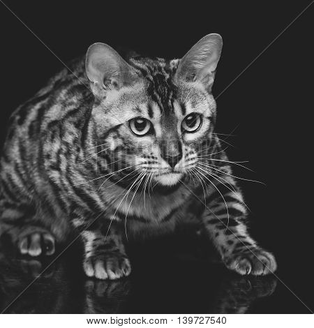 Portrait of beautiful bengal cat staring at something. Studio shot over black background. Copy space. Square composition. Monochrome.