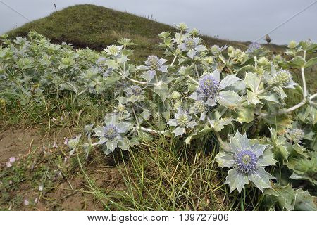 Sea Holly - Eryngium maritimum Prickly Flower of Sea Shore