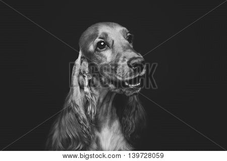 Portrait of beautiful young brown English cocker spaniel dog over black background. Closeup studio shot. Copy space. Monochrome.