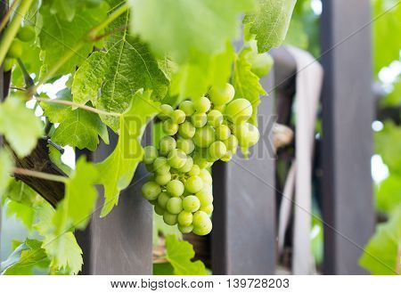Unripe green grapes hanging in a tree on a sunny day