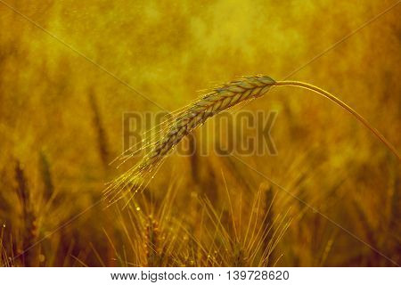 The mature dry yellow ear of wheat in the drops of water on the field after the rain lit by sun clear summer day.