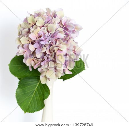 Single hydrangea in vase on white background.  Great for birthday Cards, Notecards, Posters