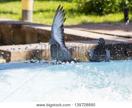 City pigeon taking bath in fountain. summer concept