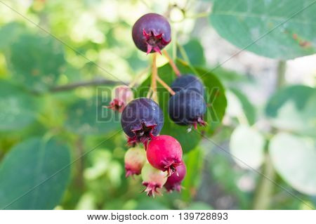 Black currant berries on a branch. The fruit in the garden is ripe for the picking. Nature gives vitamins in each fruit. Tasty berries, rich in vitamins.