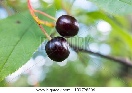 Ripe red cherry on a tree branch. The fruit in the garden is ripe for the picking. Nature gives vitamins in each fruit. Delicious berries.