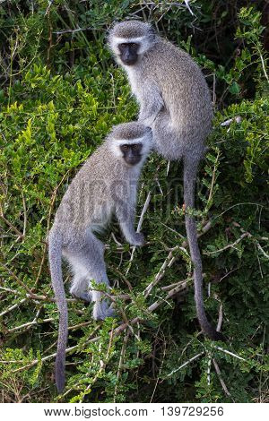 Two cute vervet monkeys with little faces and gey fur climbing in a tree