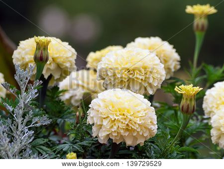beautiful bright yellow marigolds growing in the park cloudy day, a few pieces