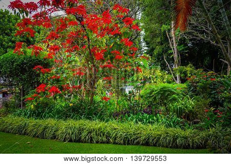 Colorful red tree in lush green Mexican garden