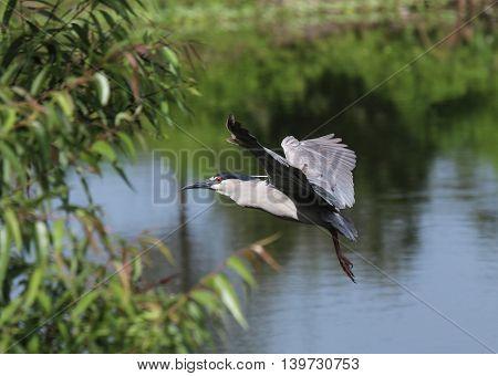 Black-crowned Night Heron at Rookery in Florida