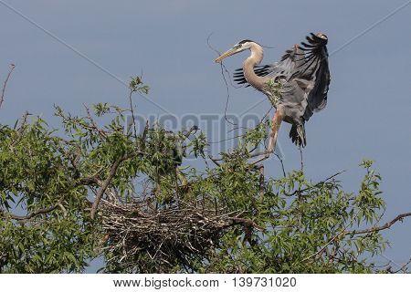 Great Blue Heron building a nest in Florida