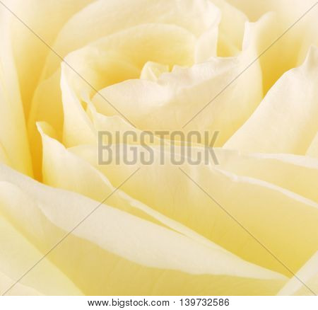 cream rose flower petals, close up background