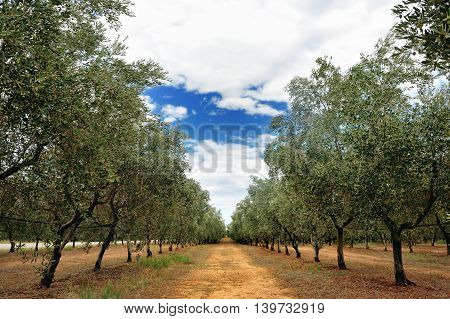 Mediterranean olive trees row in a cloudy summer day in Tuscany countryside Toscana Italy