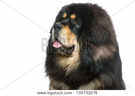 Closeup portrait of big beautiful Tibetan mastiff dog over white background. Isolated. Copy space.