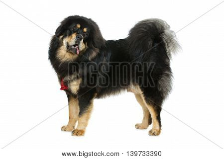 Portrait of big beautiful Tibetan mastiff dog standing over white background. Isolated. Copy space.