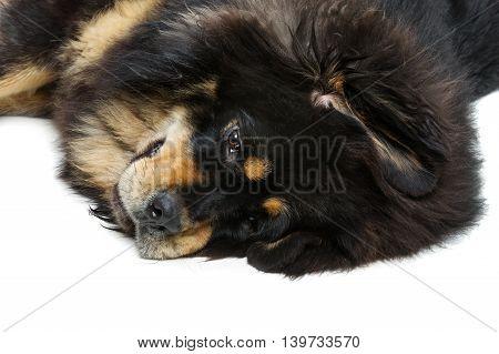 Closeup portrait of big beautiful Tibetan mastiff dog lying on white floor. Copy space.