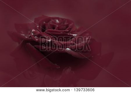 Crimson red rose bloom in black background