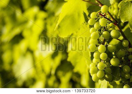 Hungarian Famous Tokaj Grapes Wine Grapevine Plantation Near Sarospatak