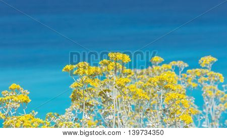 Coastal flowers, close up. Yellow flowers with  turquoise blue sea background