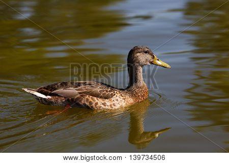 Mallard duck female swimming on the water