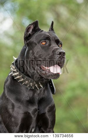 Black dog on the background of a green trees and grass. Breed Cane Corso.