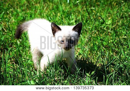 very small siamese kitten with blue eyes on a walk in the garden