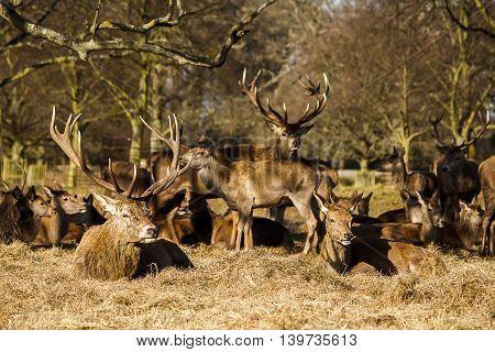 Red deer stag sitting down with it's herd. Taken in Bushy Park, London