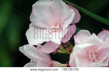 group of beautiful delicate pink exotic, tropical flowers, bunch, three pieces