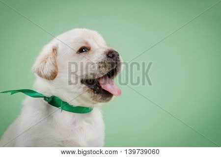Little Puppy Labrador Retriever