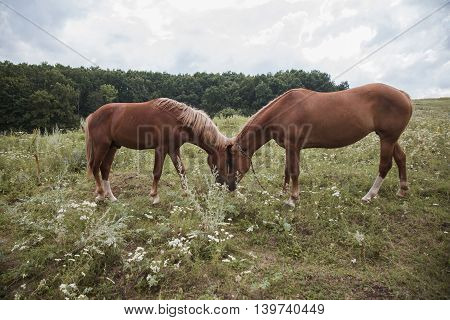 Couple Of Horses On The  Meadow