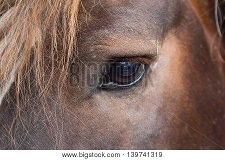 Eye thoroughbred brown horse close up. Animals