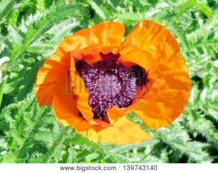 The poppy flower in High Park of Toronto Ontario 3 June 2013 Canada