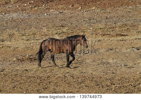 Bay Mustang Stallion Heading for the rest of the herd
