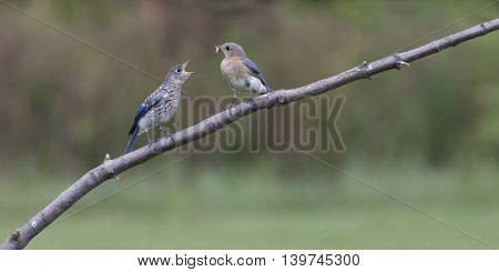 Female Eastern Bluebird Feeding Fledgling an Insect