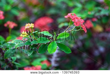 spiny shrub with green needles on the branches and pink delicate flowers bunch
