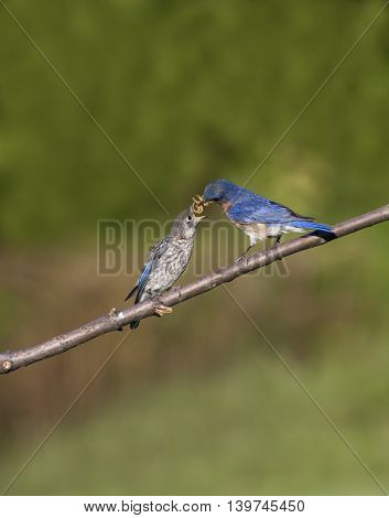 Bluebird feeding its young a mouthful of worms
