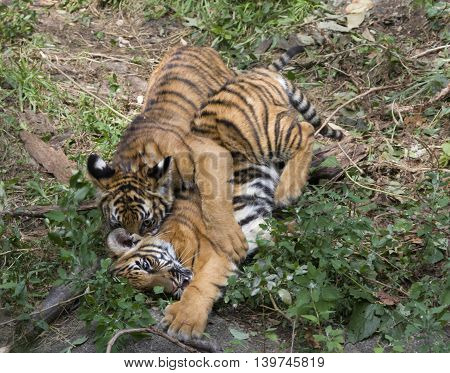 Two tiger cubs playfully wrestling with each other