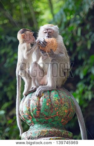 Monkey in Famous Batu Caves shrine near Kuala Lumpur, Malaysia