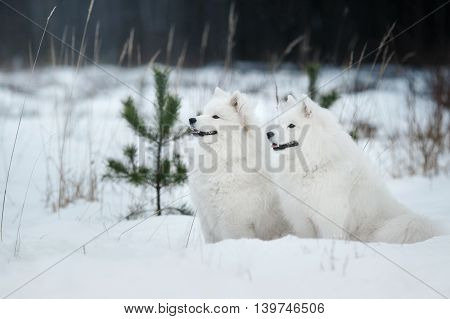 Beautiful White Samoyed Dog