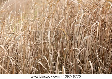 dry grass in agricultural areas for design outdoor nature.