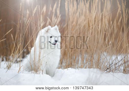 Samoyed white fluffy dog running in cold winter landscape