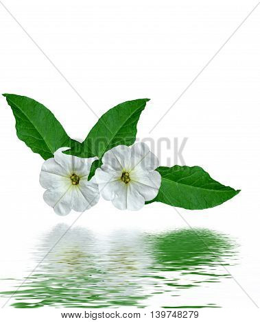 petunia flowers isolated on white background. bright flower