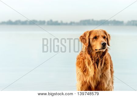 Golden retriever peering next to a lagoon