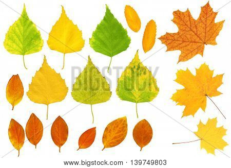 Set - autumn leafs of a birch, maple and barberry. Isolated over white